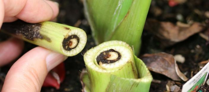 Bacterial Blight in Canna lily